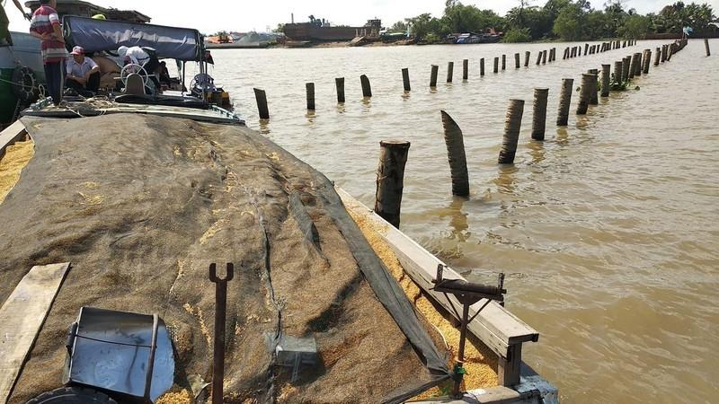 Nhiều cọc dừa bất thường ở sông Cổ Chiên gây chìm ghe lúa - ảnh 1