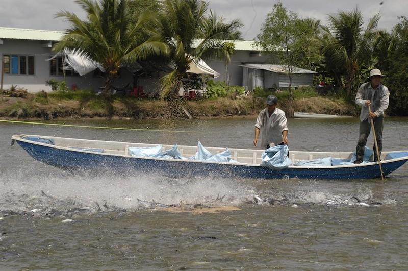 Năm 2019, ngành cá tra Việt Nam giảm toàn diện - ảnh 1
