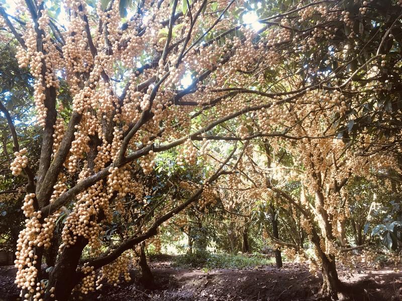 Thoải mái 'check-in' trong vườn dâu rộng 5 ha ở miền Tây - ảnh 1
