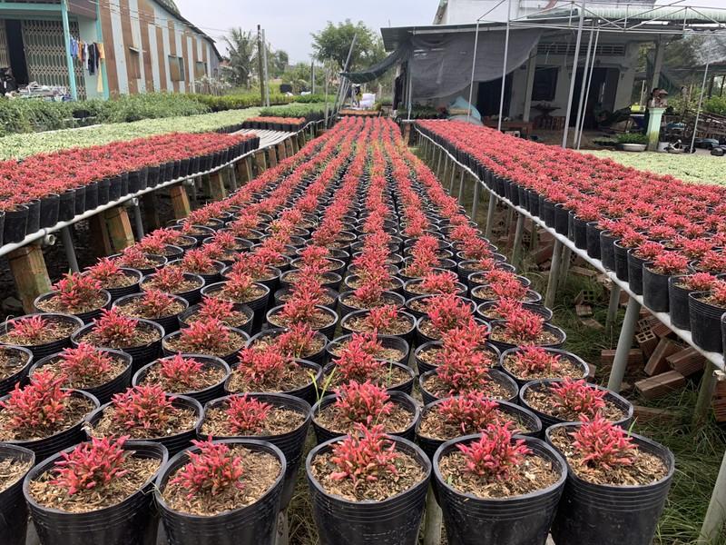 Làng hoa Sa Đéc: Hàng triệu giỏ hoa chuẩn bị ra chợ Tết - ảnh 13