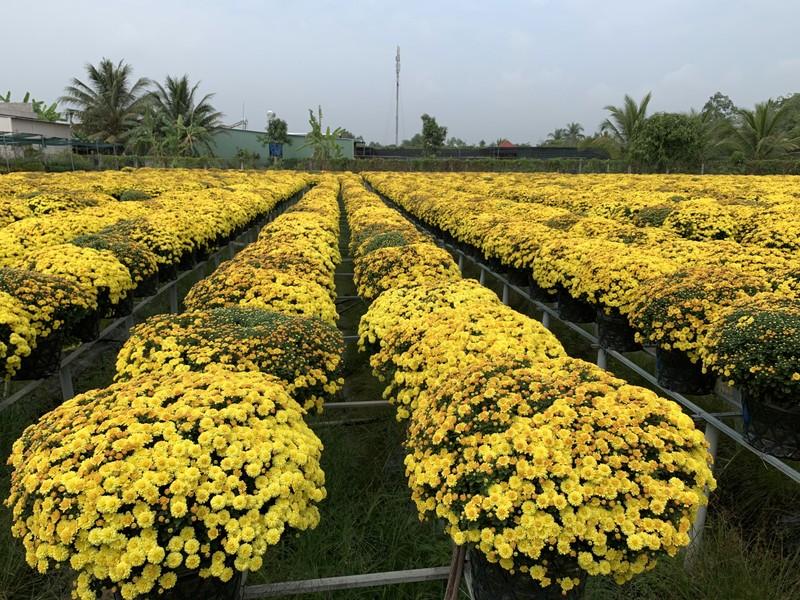 Làng hoa Sa Đéc: Hàng triệu giỏ hoa chuẩn bị ra chợ Tết - ảnh 1