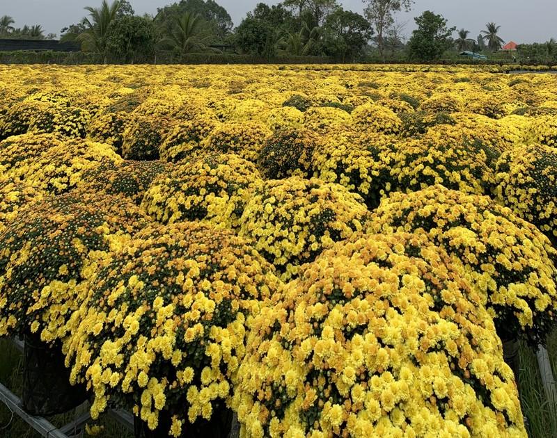 Làng hoa Sa Đéc: Hàng triệu giỏ hoa chuẩn bị ra chợ Tết - ảnh 4