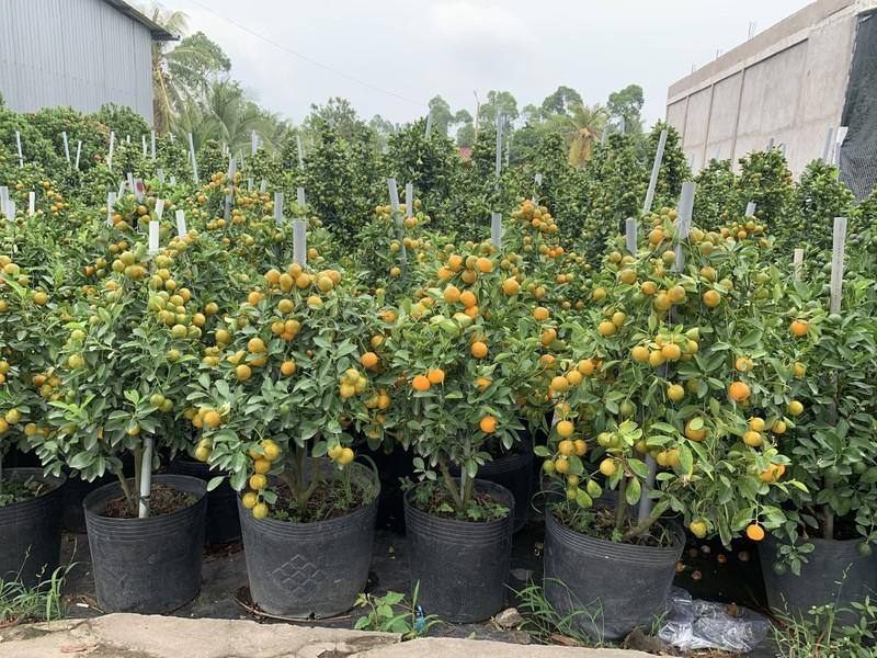 Làng hoa Sa Đéc: Hàng triệu giỏ hoa chuẩn bị ra chợ Tết - ảnh 7