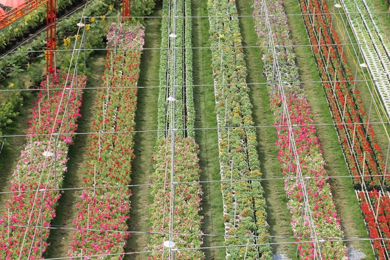 Làng hoa Sa Đéc: Hàng triệu giỏ hoa chuẩn bị ra chợ Tết - ảnh 3