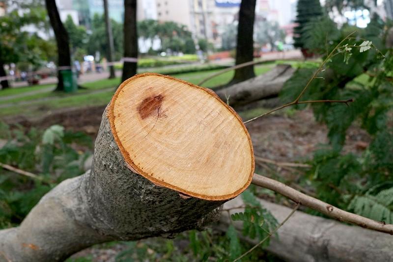 Chùm ảnh: Bứng dưỡng và đốn hạ 75 cây xanh làm metro - ảnh 7