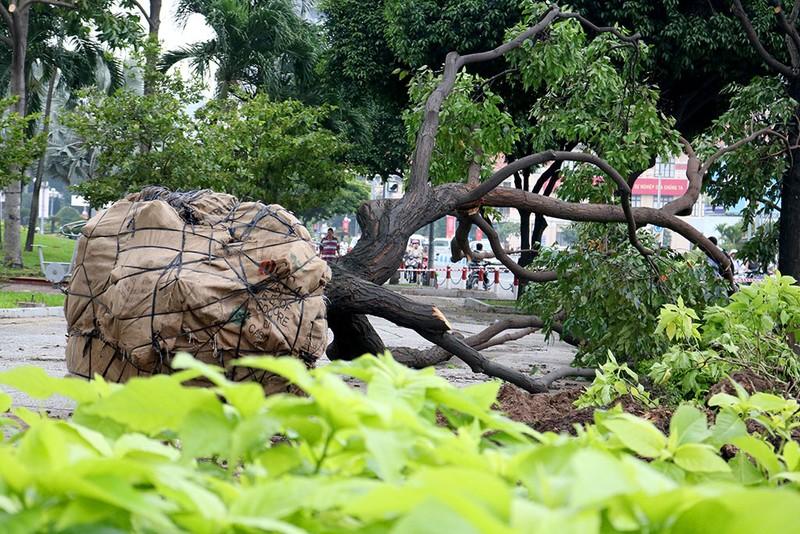 Chùm ảnh: Bứng dưỡng và đốn hạ 75 cây xanh làm metro - ảnh 5