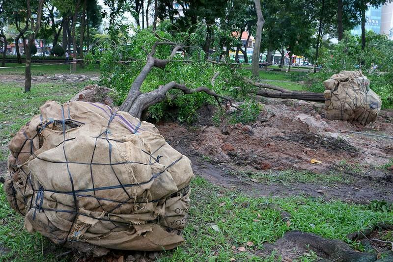 Chùm ảnh: Bứng dưỡng và đốn hạ 75 cây xanh làm metro - ảnh 6