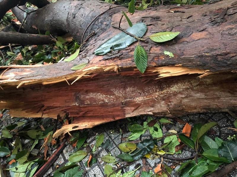 Cây gãy nhánh, đổ vào sân trường sau cơn mưa lớn ở quận 1 - ảnh 7