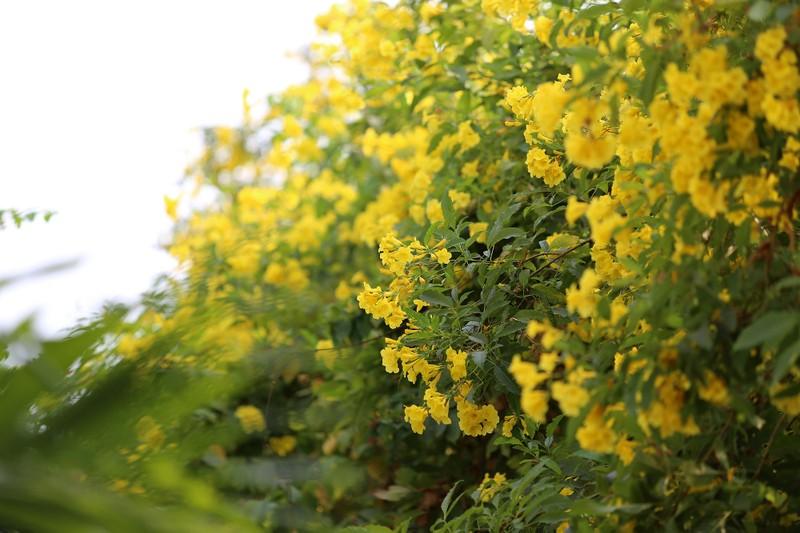Hoa huỳnh liên vào mùa nở rộ dọc đường tàu Sài Gòn - ảnh 2