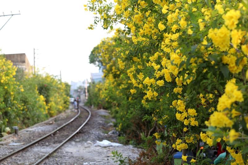 Hoa huỳnh liên vào mùa nở rộ dọc đường tàu Sài Gòn - ảnh 5