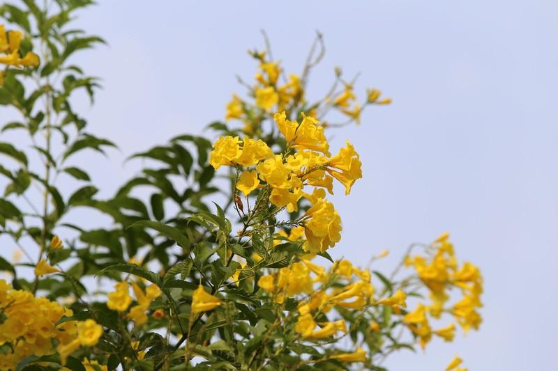 Hoa huỳnh liên vào mùa nở rộ dọc đường tàu Sài Gòn - ảnh 7
