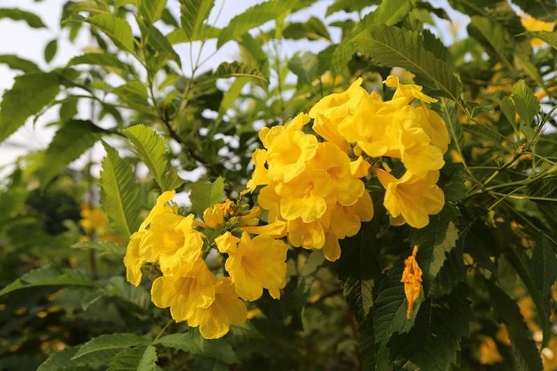 Hoa huỳnh liên vào mùa nở rộ dọc đường tàu Sài Gòn - ảnh 8