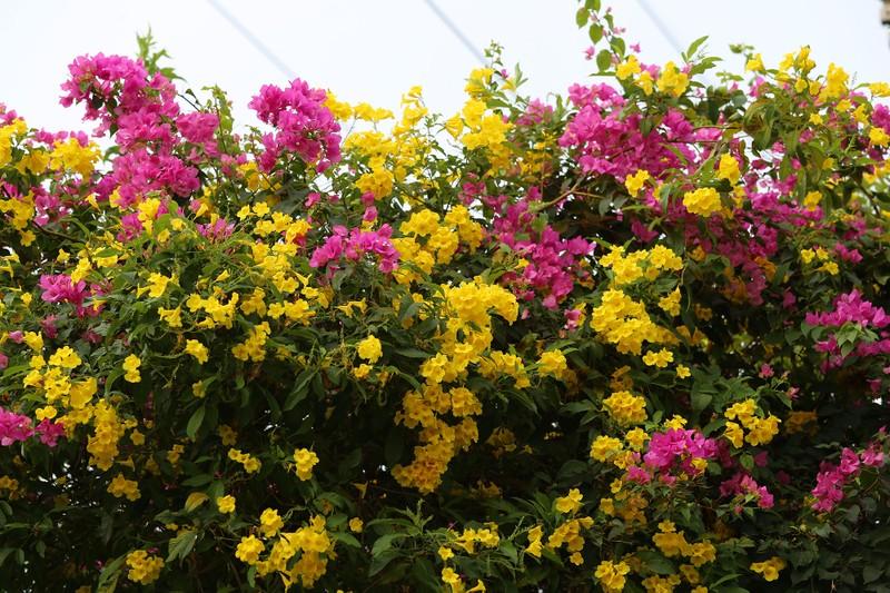 Hoa huỳnh liên vào mùa nở rộ dọc đường tàu Sài Gòn - ảnh 9