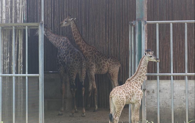 Những người '3 tại chỗ' tại Thảo Cầm Viên: Để động vật không bị đói - ảnh 5