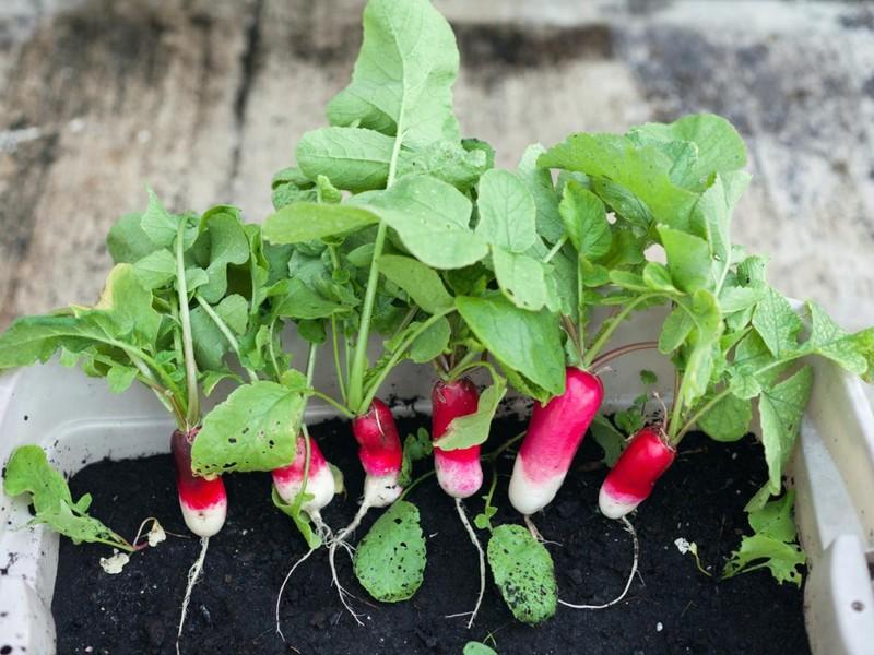 4 loại rau bổ dưỡng, phát triển nhanh dễ trồng trong vườn nhà - ảnh 3