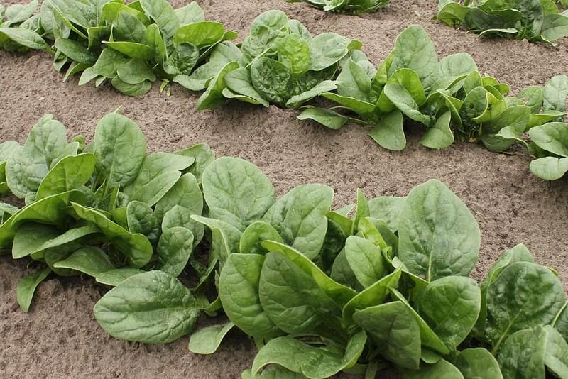 4 loại rau bổ dưỡng, phát triển nhanh dễ trồng trong vườn nhà - ảnh 1