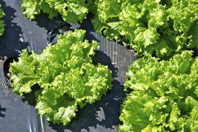 4 loại rau bổ dưỡng, phát triển nhanh dễ trồng trong vườn nhà - ảnh 4