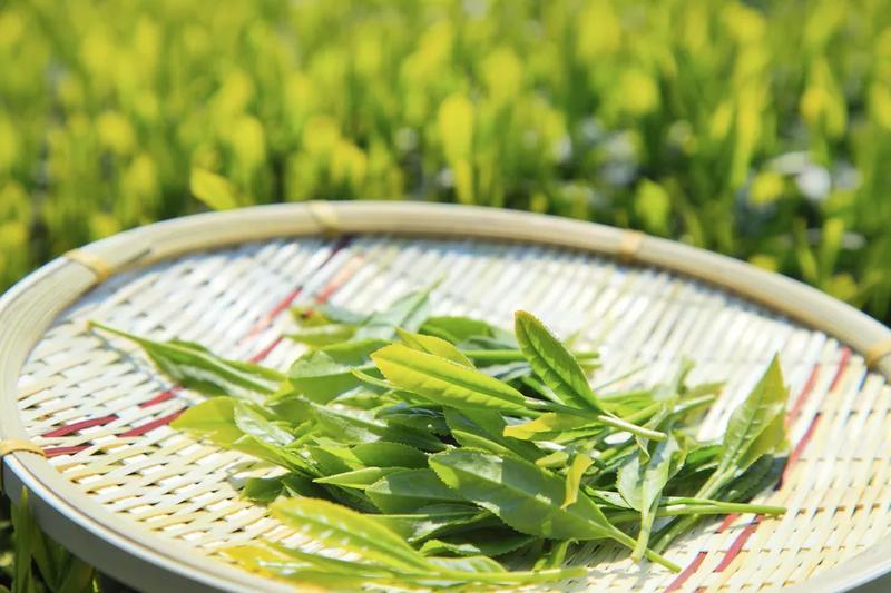 Tác dụng của việc bổ sung trà xanh đối với bệnh béo phì - ảnh 1