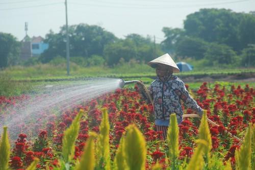 Bà con làng hoa ở TP.HCM chạy nước rút cho vụ tết - ảnh 10