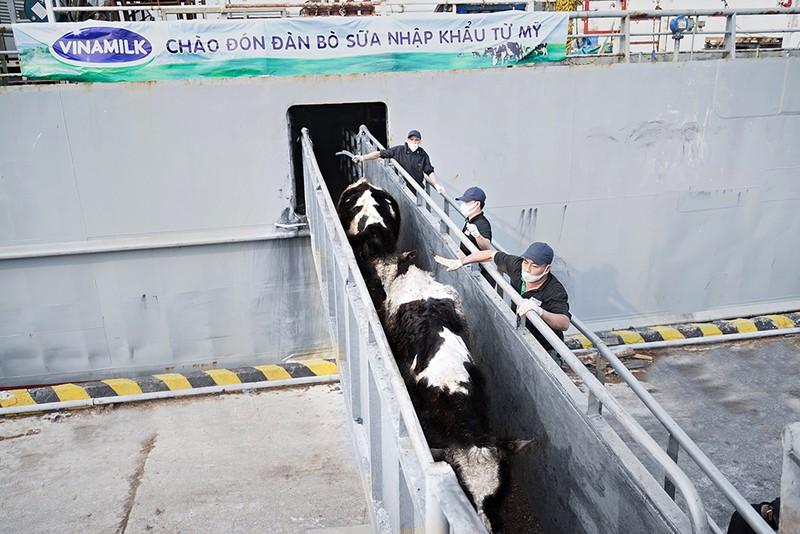 Vinamilk nhập khẩu hơn 2.100 con bò sữa từ Mỹ - ảnh 1