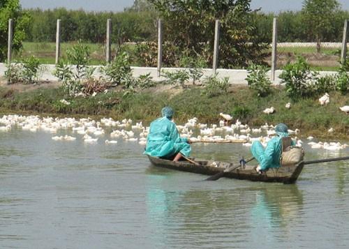 Tây Ninh: Tiêu hủy hai ổ dịch cúm gia cầm - ảnh 2