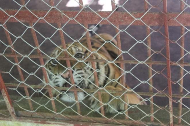 Thời điểm được giải cứu, cá thể hổ đực có trọng lượng 90 kg, cá thể cái nặng 75 kg. Theo cán bộ chăm sóc, sau gần 2 tháng được chăm sóc, chúng đã tăng trọng lượng lên nhiều.