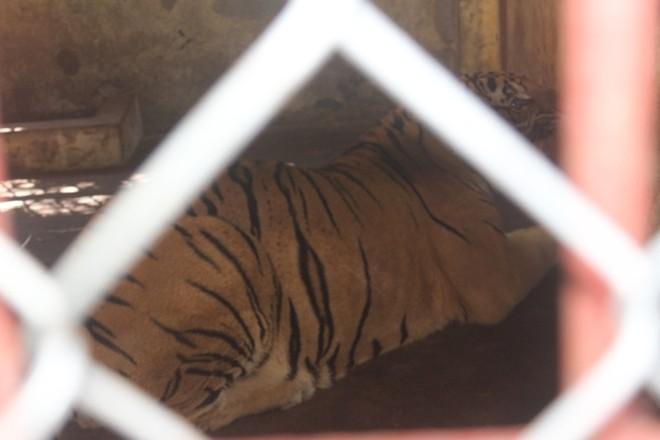 """""""Hiện chúng tôi đang làm đề xuất tỉnh Nghệ An xin giữ lại để nuôi 2 cá thể hổ trên để nuôi nhốt và xin thành lập Trung tâm cứu hộ, Bảo tồn và Phát triển động vật hoang dã. Tuy nhiên, việc này rất khó kinh phí thành lập trung tâm là rất lớn. Nếu không thể thực hiện được, chúng tôi sẽ chuyển 2 cá thể hổ cho trung tâm cứu hộ khác để nuôi"""", ông Kiên cho biết thêm."""