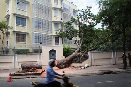 Cây cổ thụ đổ sập vào hàng rào trụ sở Lãnh sự quán Nga - ảnh 4
