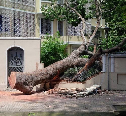 Cây cổ thụ đổ sập vào hàng rào trụ sở Lãnh sự quán Nga - ảnh 2