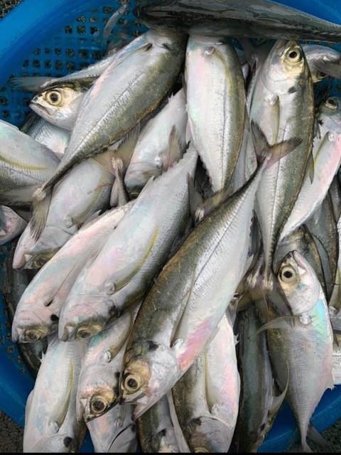 Cá sòng kho ớt xanh ngày biển khát  - ảnh 1