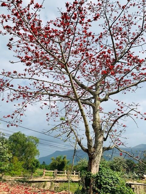 Đi tìm mùa hoa gạo bỏ quên ở núi rừng Quảng Nam  - ảnh 2