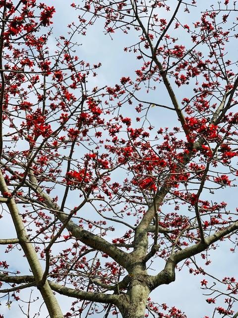 Đi tìm mùa hoa gạo bỏ quên ở núi rừng Quảng Nam  - ảnh 1