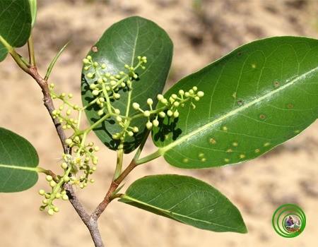 Ngọt ngào hương trái Kơnia - ảnh 1