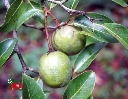 Ngọt ngào hương trái Kơnia - ảnh 3