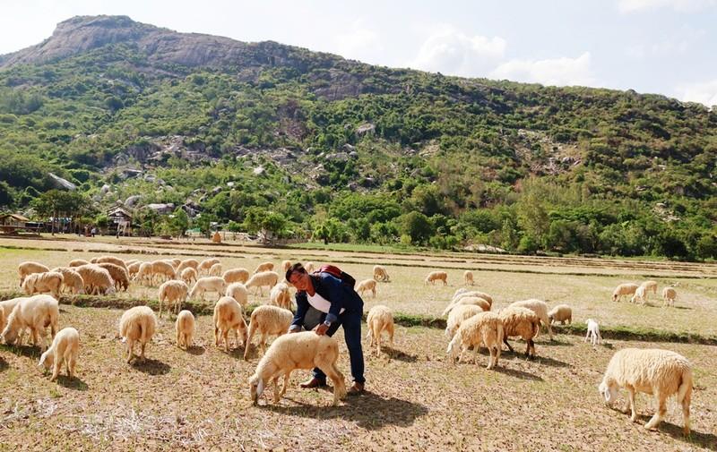 Thích thú với đồng cừu thân thiện ở Suối Tiên Cam Ranh - ảnh 5