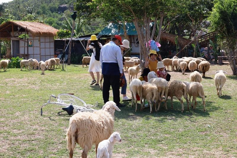 Thích thú với đồng cừu thân thiện ở Suối Tiên Cam Ranh - ảnh 1
