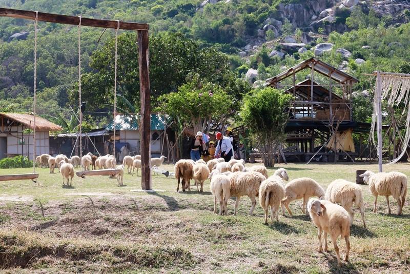 Thích thú với đồng cừu thân thiện ở Suối Tiên Cam Ranh - ảnh 4