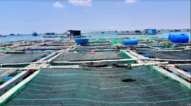 Về Ninh Thuận ra làng bè Đông Hải xem tắm cá - ảnh 6