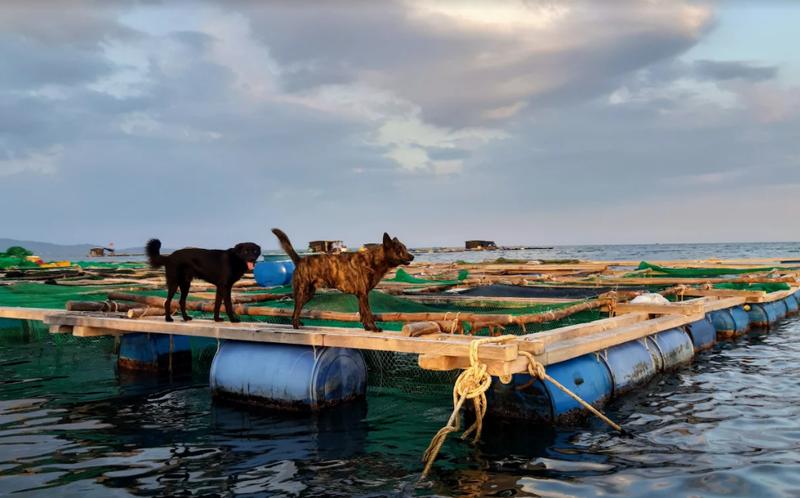 Về Ninh Thuận ra làng bè Đông Hải xem tắm cá - ảnh 8