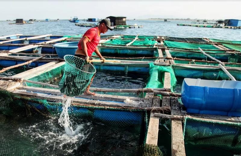 Về Ninh Thuận ra làng bè Đông Hải xem tắm cá - ảnh 11