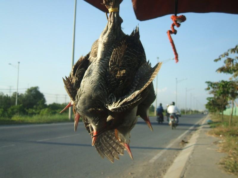 Thưa dần tiếng chim hót ở Sài thành - ảnh 4