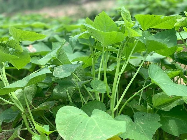 Người xứ Quảng có món rau lang kho mắm cái đặc biệt - ảnh 4
