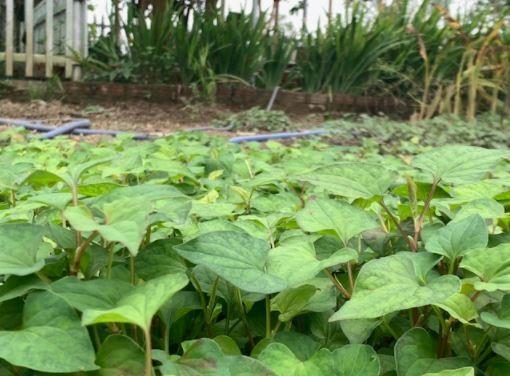 Đi thăm vườn xuân với muôn loài rau lại nhớ ngoại - ảnh 3