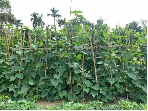 Đi thăm vườn xuân với muôn loài rau lại nhớ ngoại - ảnh 5