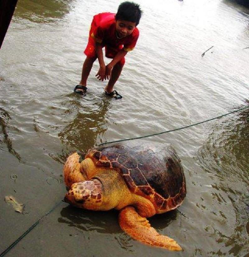 Rùa biển quý hiếm mắc lưới ngư dân Quảng Trị - ảnh 1