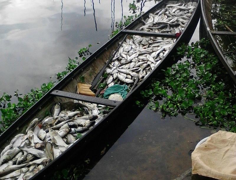 Hơn 37 tấn cá nuôi lăn ra chết trên sông Đại Giang - ảnh 1