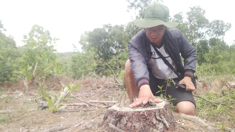 Khởi tố người bán rừng thông đặc dụng ở Huế - ảnh 1