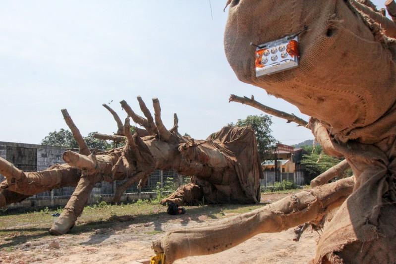 Toàn cảnh vụ cây 'khủng' bị giữ tại Thừa Thiên-Huế - ảnh 3