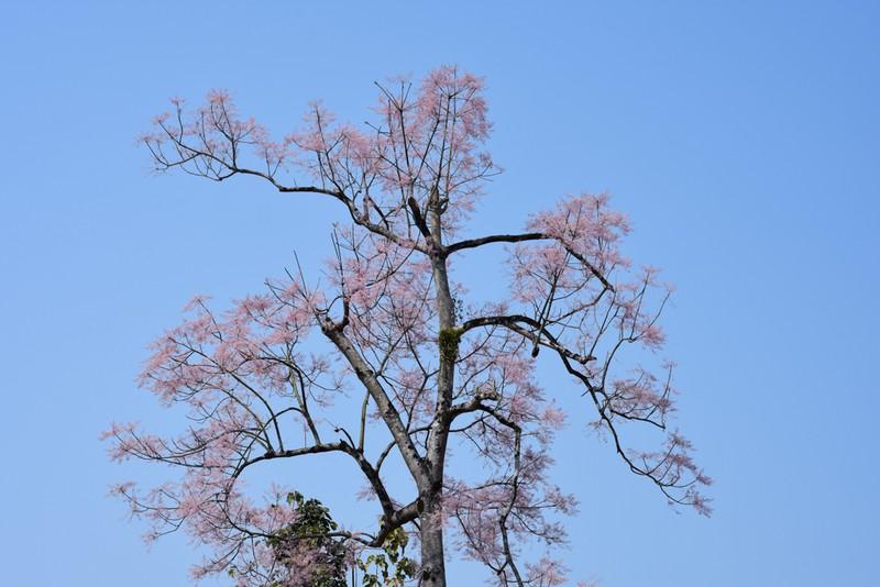 Ngắm hoa ngô đồng khoe sắc trong Đại nội Huế - ảnh 9