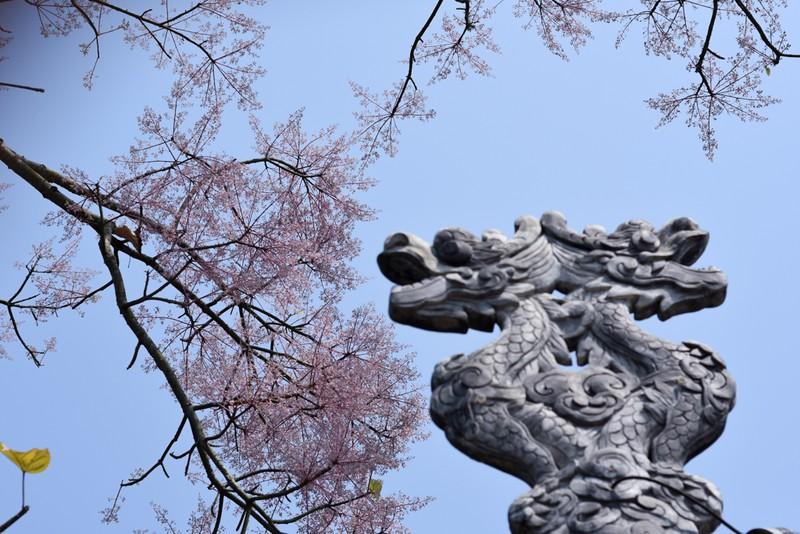 Ngắm hoa ngô đồng khoe sắc trong Đại nội Huế - ảnh 6